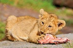 Cub and meat by Tambako the Jaguar, via Flickr