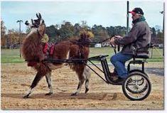 Unlikely Animal Pulling a sulky cart. Funny Donkey Pictures, Farm Hacks, Horse Cart, Zoo Animals, Animal Photography, Crocodile, Camel, Horses, Random Stuff
