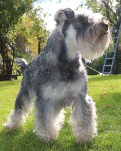 Miniature Schnauzer Majken in beutiful Autumn weather