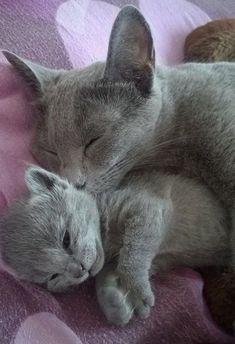 Mom nuzzling 2 week old kitten #RussianBlueCat