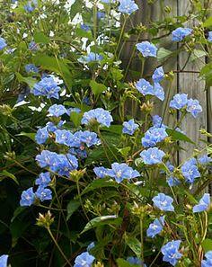 Jacquemontia pentanthos, Aguinaldo-azul, Amarra-cachorro, Trepadeira-céu-azul
