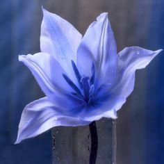 Neu in meiner Galerie bei OhMyPrints: Blaue Tulpe im Glas