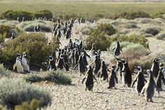 Global Distribution of Penguins [1425x745] : MapPorn