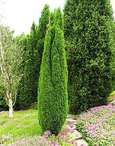 "Juniperus communis 'Hibernica' - ""Google"" paieška Juniperus Communis, Hydrangea Macrophylla, Animal Quotes, Animal Tattoos, Evergreen, Landscape Design, Architecture, Trees, Landscaping Ideas"
