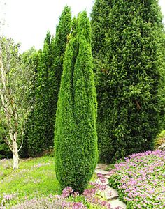 juniperus communis 39 suecica nana 39. Black Bedroom Furniture Sets. Home Design Ideas