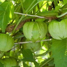 Sow tomatillo seeds for their citrusy, sweet-tart fruit. Indispensable for a variety of Latin dishes, most notably, salsa verde.