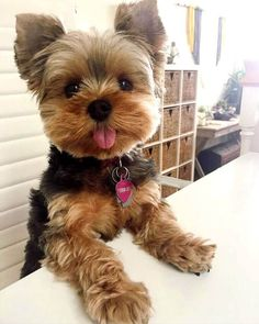 Yorkshire terrier a small dog that does not shed
