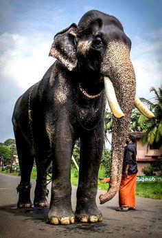 63 Best aanachandam images | States of india, Elephant, Kerala
