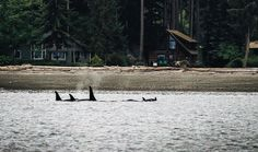 Yesterday this photo was taken in front of the home I grew up in on Whidbey Island. (My house is the log cabin in the background) This is a group of Orcas called J Pod I saw them a couple times when I was a kid. I kayaked with them and they got so close I could have touched one with my paddle. Makes me miss home. Luckily our @carrythelove team heads up to the northwest this week! Maybe I will have to make a surprise visit!? #northwestisbest #whidbeyisland #home by jeremybardwell