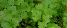 Cultivar cilantro huerto en casa   EcoHortum