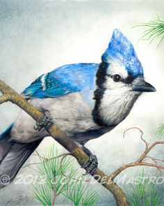 Color Pencil Drawing -  Blue Jay, Bird Drawing, 8 x 10 Fine Art PRINT by John DelMastro