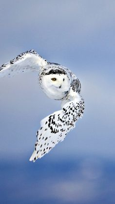 owl, flying, bird, white, predator