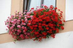 Ivy Geraniums, Garden Compost, Gardening, Healthy Seeds, Sweet Violets, Organic Matter, Echeveria, Hanging Baskets, Land Scape