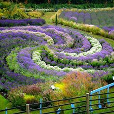 Jardins de lavande en Angleterre