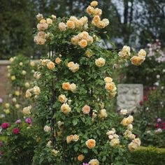 Crown Princess Margareta Climbing Rose (Rosa Crown Princess Margareta) at Wayside Gardens