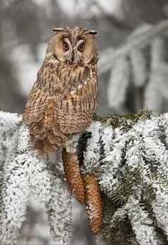 .Owl next to pine cones camaflogue