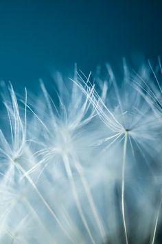 Week 21 - Dandelion Macro | Flickr - Photo Sharing!