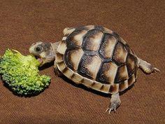 ... tortoise on Pinterest Tortoise, Red footed tortoise and Turtles