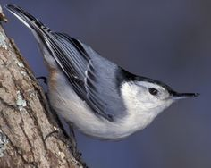 """White-breasted Nuthatch. The name comes from the habit of jamming large nuts and acorns into tree bark, then whacking them with their sharp bill to """"hatch"""" out seed. #birds"""