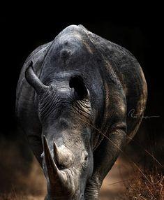 Rhino Animal, Safari, Animal Magic, Pit Bulls, Animal Paintings, Antlers, Animals And Pets, Wildlife, Elephant