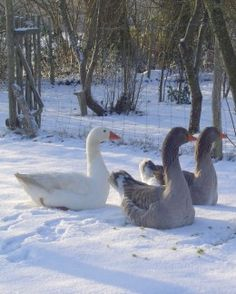 How to care for geese. Geese make great pets, gret lawn mowers and great Christmas dinners. Why not raise a couple yourself. Cheap and so rewarding.