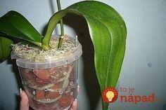 Tip od Janky, ako prebrať orchideu. House Plants, Flora, Home And Garden, Vegetables, Gardening, Nature, Diy, Hydroponics, Orchids