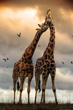 Giraffes Kissing Poster at AllPosters.com