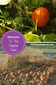 Get our tips for planting and growing pumpkins in your garden.