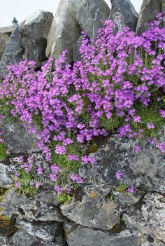 Erinus alpinus or fairy foxglove growing in a stone wall on the Isle of Lismore, Argyll #Scotland