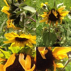 Lo que me gusta captar Plants, Sunflowers, I Like You, Plant, Planets