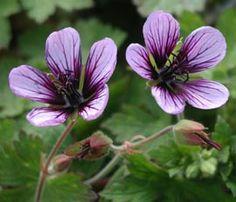 Geranium Hybride 'Salome' - Storchschnabel 6,10 e