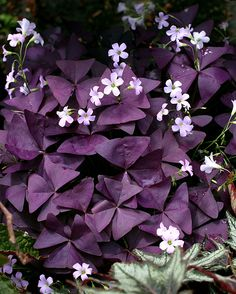 "Sun - Pt Shade. Avg. water. Oxalis regnellii var. triangularis 'Mijke' $8.95.    6-10"" tall x 10-15"" across. Mound.  Under maple?"