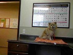 *ITA - ID#A702057    Shelter staff named me ITA.    I am a female, tan Pomeranian.    The shelter staff think I am about 3 years old.    I have been at the shelter since Mar 02, 2013.
