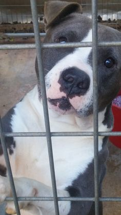 ROSELAND, LA - CRUZ is an adoptable Dog - Pit Bull Terrier searching for a forever family near Roseland, LA. Use Petfinder to find adoptable pets in your area.