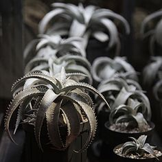 DYCKIA marnier-lapostollei - Brazil - I have this one, from Yuccado. ( http://www.yuccado.com )