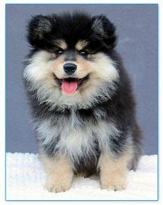 Finnish Lapphund Club of America | Breeder Listing