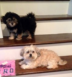 My boys.... #maltipoo, # havapoo, #puppies
