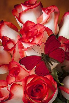 Magenta butterfly and red-tipped roses