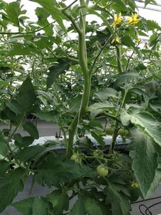 Growing Wiser in SEQ - The average plant life for these Tomatoes is around 9 months. Normally a tomato bush is about 1.2 metres tall, These tomato vines will finish off up to 14 metres. As the plant grows they will gently lay the vines down in the pathway and the tomatoes will continue to produce on the vine. The average plant will consume 15ml every hour to maintain this growth.