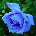 Rare China Sky Blue Rose