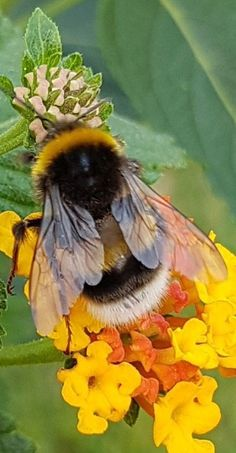 What a beautiful partnership! Bees and flora. What a beautiful partnership! Bees and flora. I Love Bees, Birds And The Bees, Beautiful Creatures, Animals Beautiful, Animals And Pets, Cute Animals, Foto Macro, Bee Pictures, Flora