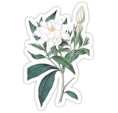 Cape Jasmine Illustration by Pierre-Joseph Redouté Sticker Bubble Stickers, Cool Stickers, Printable Stickers, Laptop Stickers, Planner Stickers, Homemade Stickers, Illustration, Aesthetic Stickers, Crafting