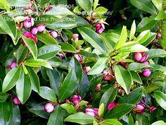 Port Wine Magnolia 'Magnolia figo' smells like banana