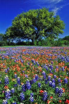 ✯ Indian Paintbrush, Texas Bluebonnets & Live Oak near Marble Falls, Texas