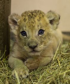 An African Lion cub born March 5 made his public debut alongside his dad on Father's Day at the Buffalo Zoo. The Buffalo Zoo's staff had been preparing for this day ever since little Tobias was born to first time. Newborn Animals, Animals And Pets, Baby Animals, Cute Animals, Wild Animals, Small Wild Cats, Big Cats, Big Cat Diary, Sand Cat