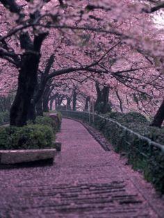 Garden Walkway, Trees in Blossom, Tokyo, Japan.