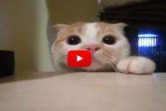 Peekaboo Kitty - Love Meow
