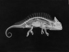 X- ray taken by J. M. Eder & E. Valenta in XIX century. When science becomes art. http://www.lineature.com/en/science/159-chameleon-radiograph.html