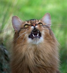 Download cat picture 1091x1192 0.35Mb with  solitary lady  somali cat  solo  miotic pupil  whiskers  brown hair  sitting  yellow eyes  tall image  brown nose  fluffy  long hair  grass  ticked tabby  open mouth  teeth  meow