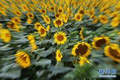 Beautiful sunflowers bloom in Beijing suburbs - People's Daily Online